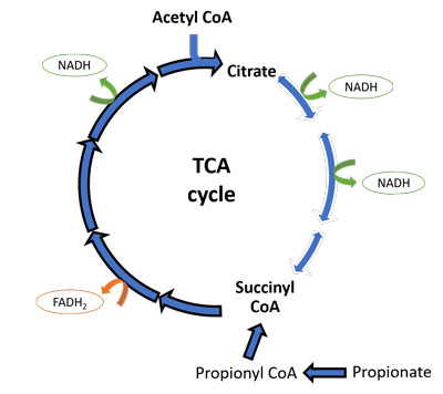 TCA cycle excess propionate autism