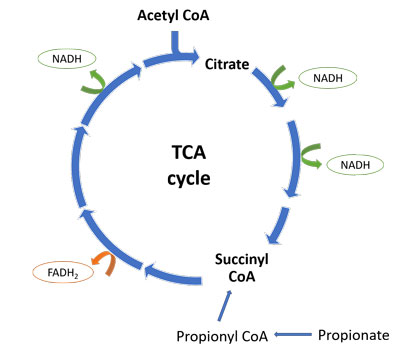 TCA cycle normal succinyl CoA propionate