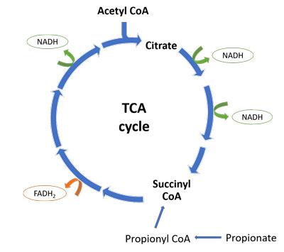 TCA cycle normal succinyl CoA propionate